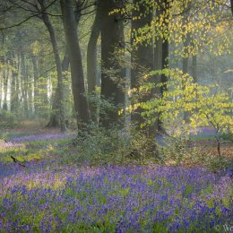 Bluebells, Park Wood, Nuffield