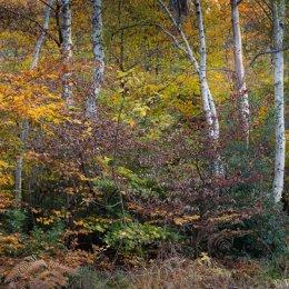 Burnham birches
