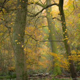 Late Autumn in the beech woods