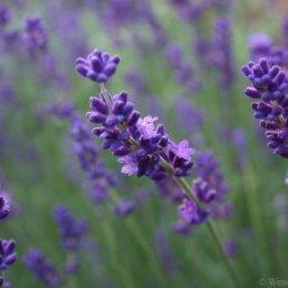 Lavender study