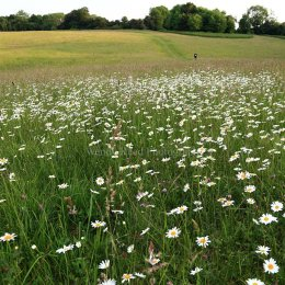 Ox-eye daisies on Maidensgrove Common