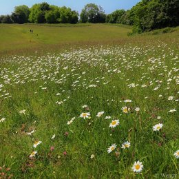 Ox-eye daisies at Maidensgrove Common