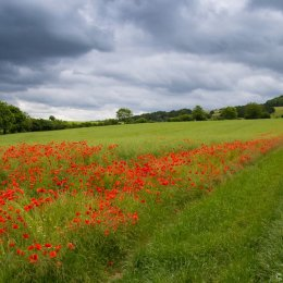 Poppies on the Clarendon Way