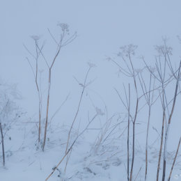 Umbellifers in snow