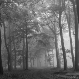 October mists in Nott Wood (mono)