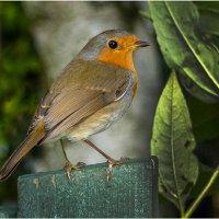 474-Robin