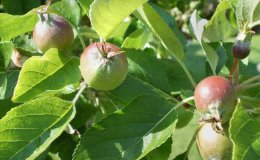490-First Sign Of Apples