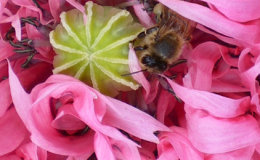 491-Found Inside A Poppy