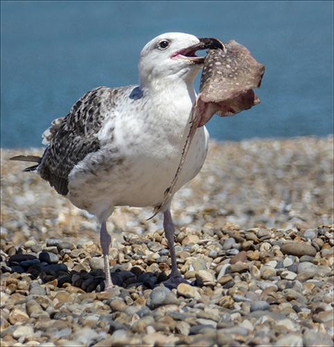 Herring Gull and Skate