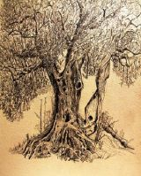 Olive Tree - Perugia (pencil) Not for Sale