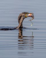 01 Cormorant with Fish & Eggs by Bob Davies