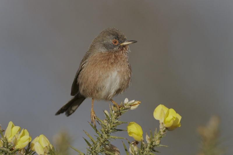 01 Dartford Warbler by Tim Downton