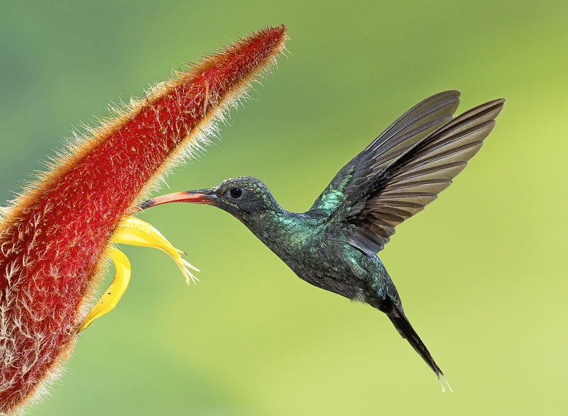 01 Green Hermit Hummingbird by David Cantrille