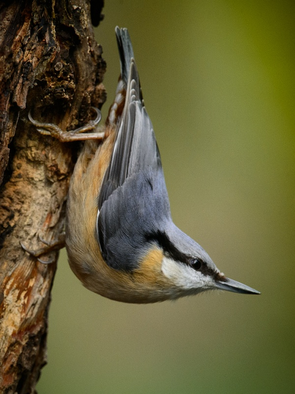 01 Nuthatch by Iain Friend