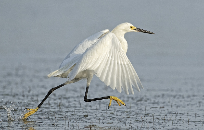 01 Snowy Egret Running on Water by David Cantrille