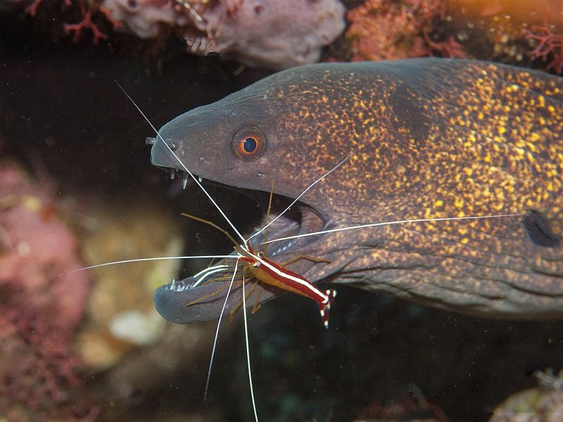 01 Spike Piddock Moray Eel and Shrimp
