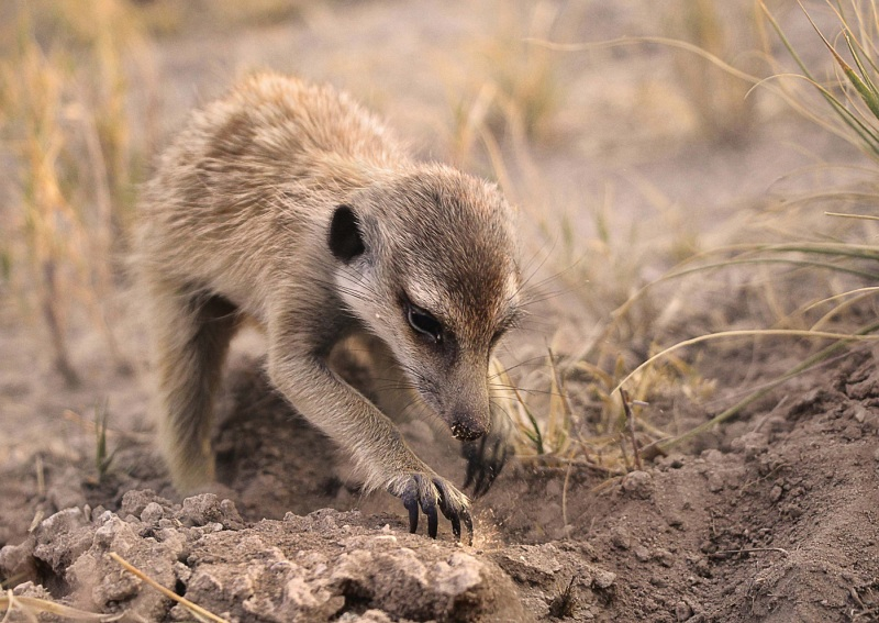 01 Young Meerkat Foraging by Lisa Bukalders LRPS