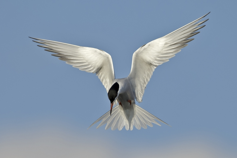 A Common Tern by Tim Downton