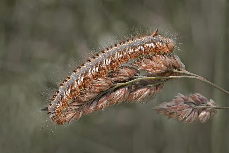 02 Drink Moth Caterpillar by Susan Buckland