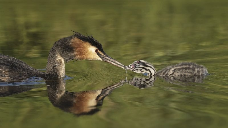 02 Great Crested Grebe feeding Young by Ivor Toms