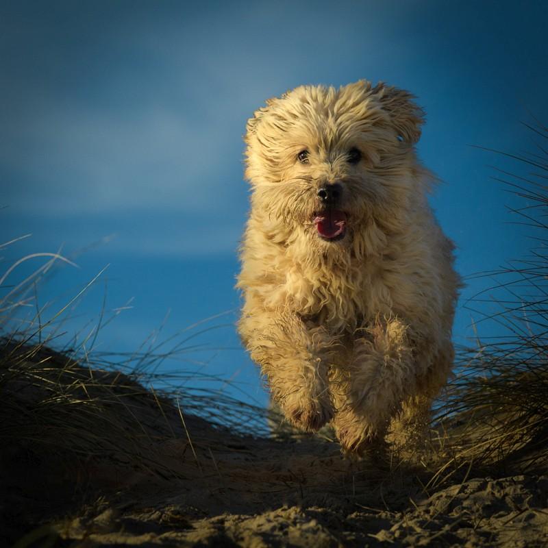 02 Iain-Friend Wheaten-Terrier-No-1