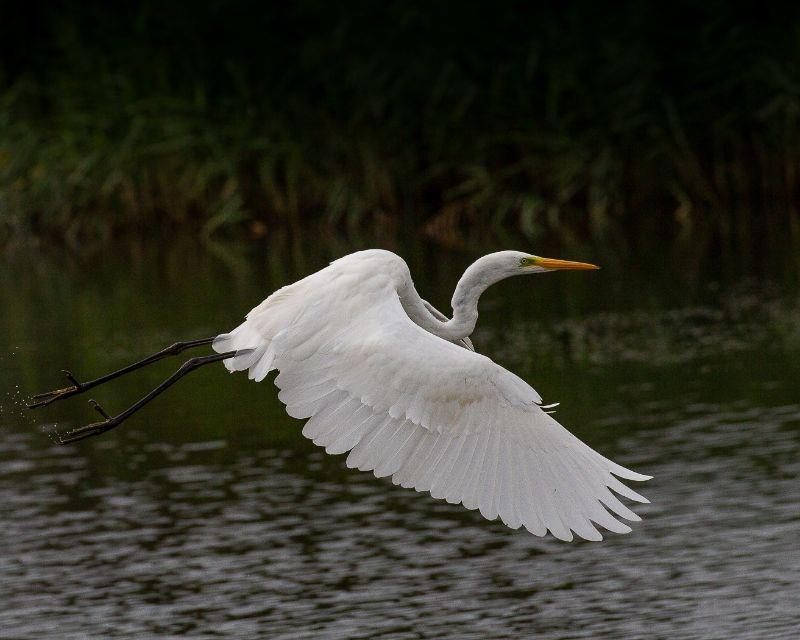 02 Jeremy Lee-Potter Great White Egret