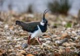 02 Lapwing by Ivor Toms