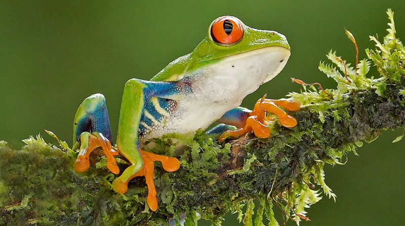 01 Red Eyed Leaf Frog by David Cantrille