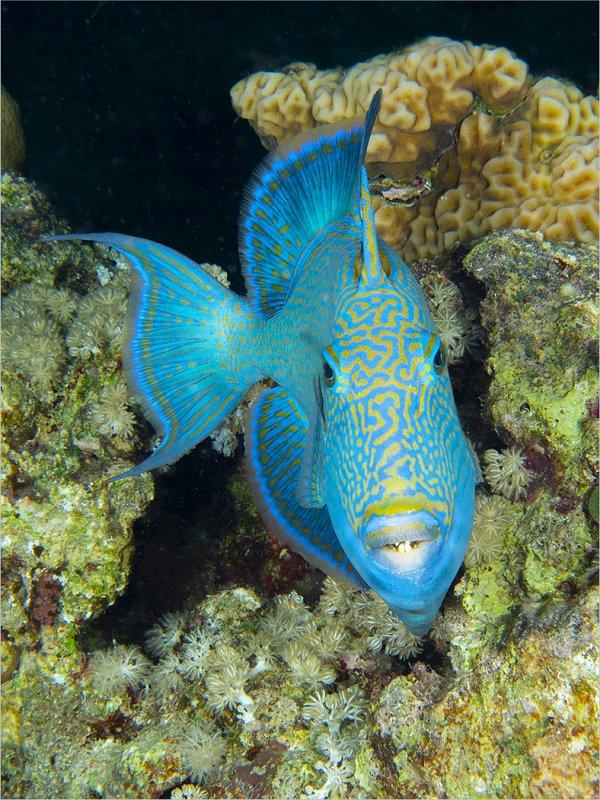 02 Spike Piddock Blue Trigger Fish