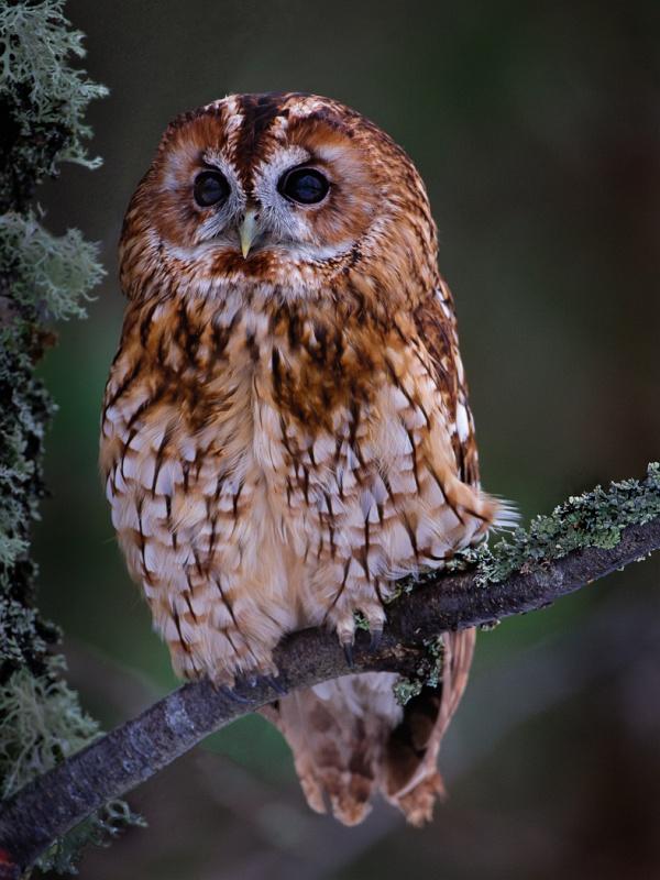 02 Tawny Owl by Iain Friend