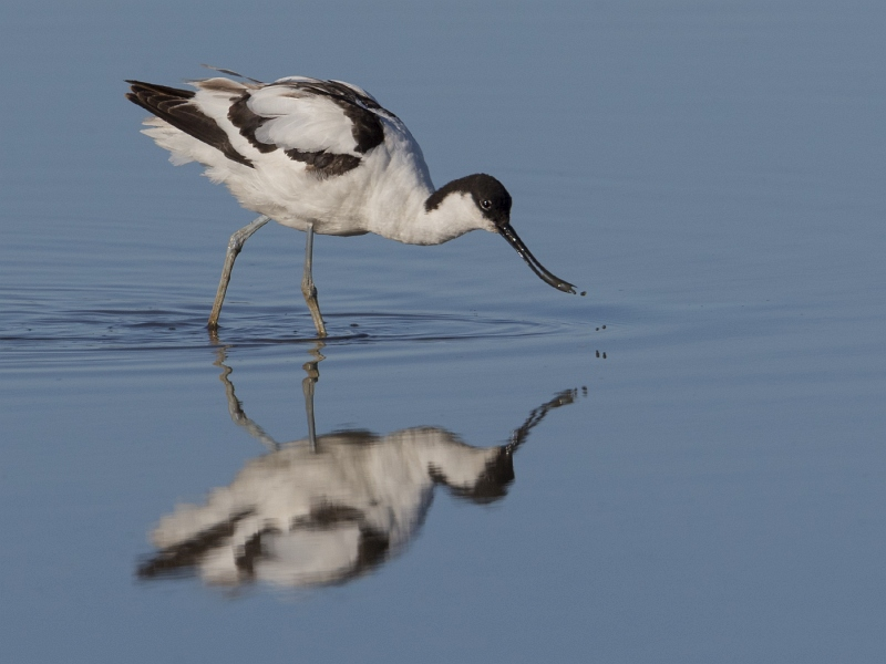 02 Tim Downton Avocet Reflection