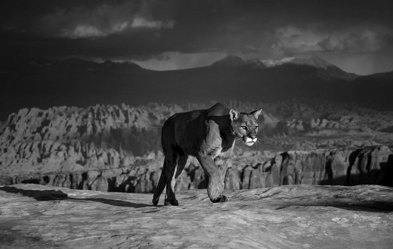 Valerie Duncan - Prowling Cougar Canyonlands