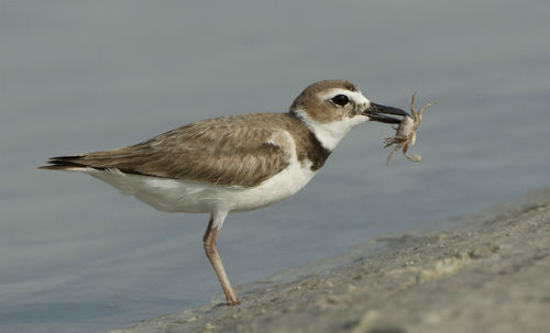 Wilson's Plover with crab #2