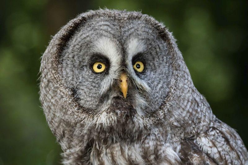 03 Great Grey Owl by Annette Beardsley