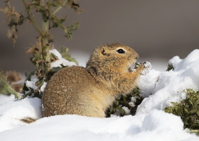 03 Ground Squirrel by Di Tilsley
