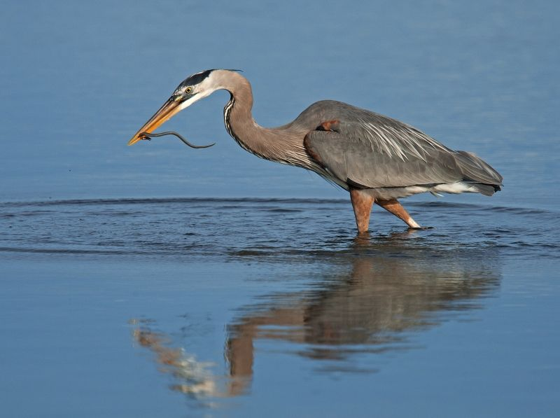 03 Heron with Catch by Mary Cantrille