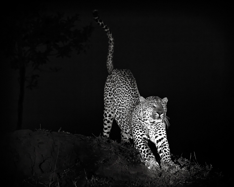 03 Leopard Stretch by Bob Davies