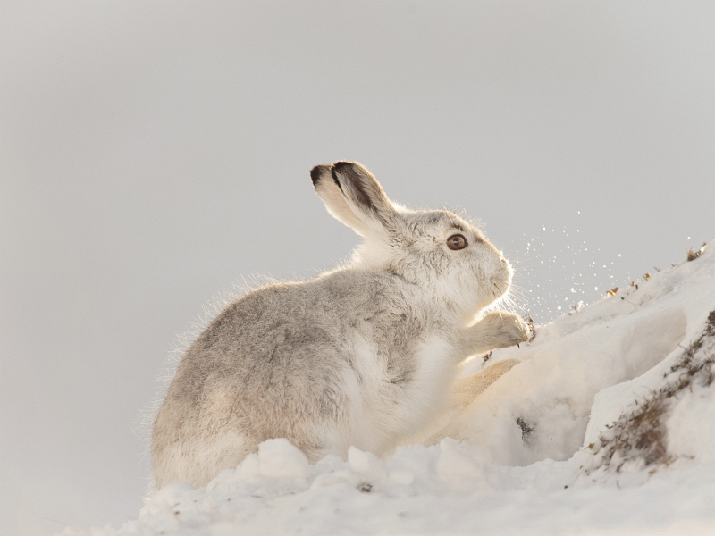 03 Mountain Hare - Scraping the Snow by Iain Friend