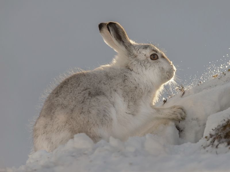03 Mountain Hare Feeding by Iain Friend