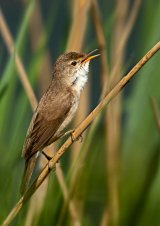 03 Reed Warbler by Ivor Toms