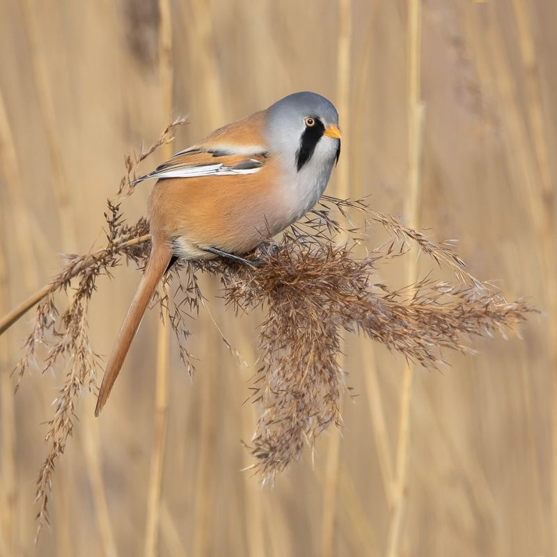 04 Bearded Reedling by Martin Davenport