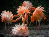 04 Flamingos by Ivor Toms