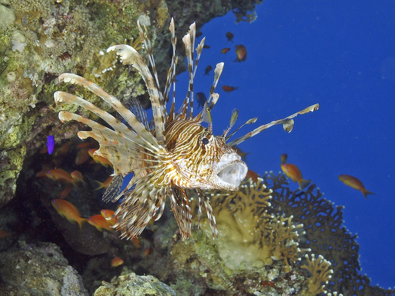 04 Lionfish Gaping by Spike Piddock