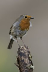 04 Robin by Tim Downton