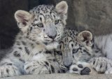 04 Snow Leopard Cubs by Ivor Toms
