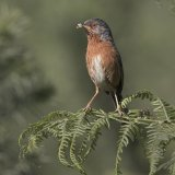04 Tim Downton Dartford Warbler with Grub