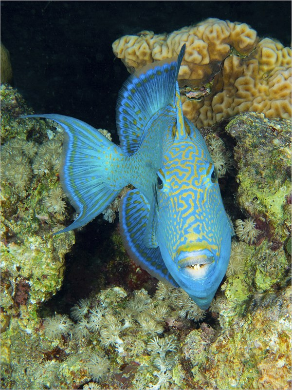 05 Blue Trigger Fish by Spike Piddock