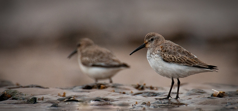 05 Dunlin by Iain Friend