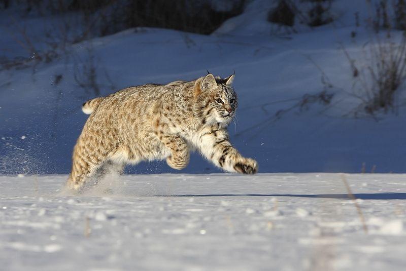 05 Greg Duncan Bob Cat Running In Snow