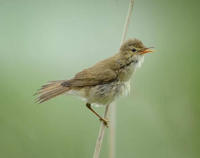05 Reed Warbler Juvenile Singing by Iain Friend